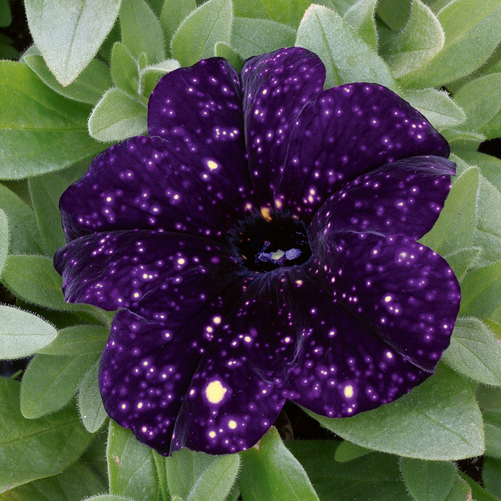 "Sufinia Crazytunia ""Starry Blue"" Bild 1"