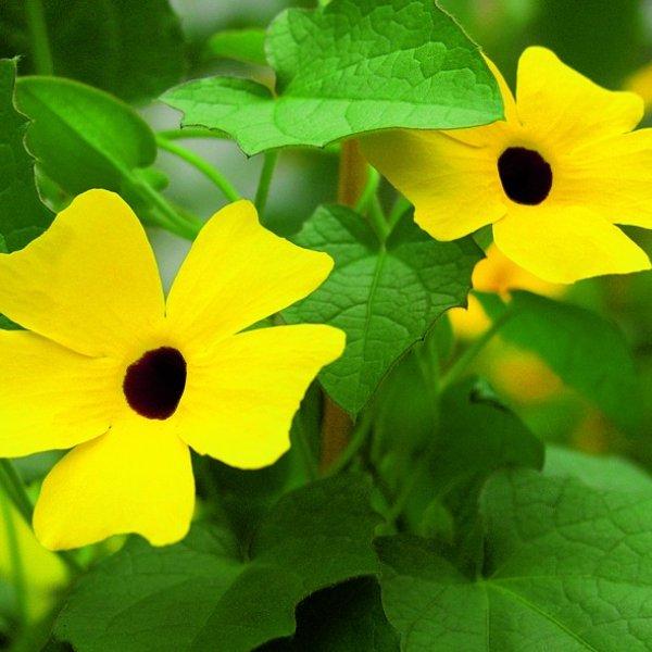 Thunbergera (Schwarzäugige Susanne) gelb Bild 1