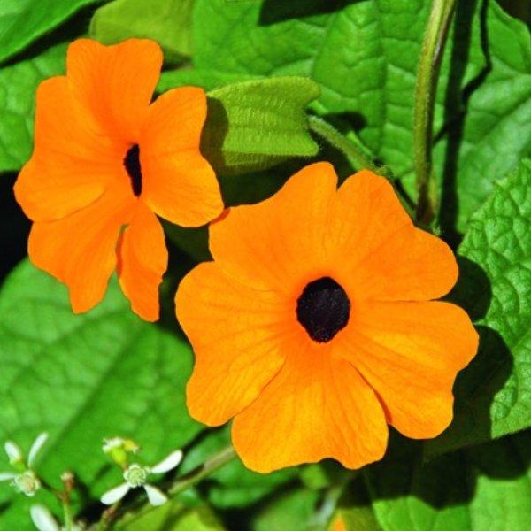 Thunbergera (Schwarzäugige Susanne) orange Bild 1