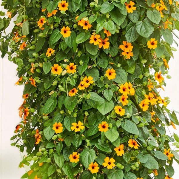 Thunbergera (Schwarzäugige Susanne) orange Bild 2
