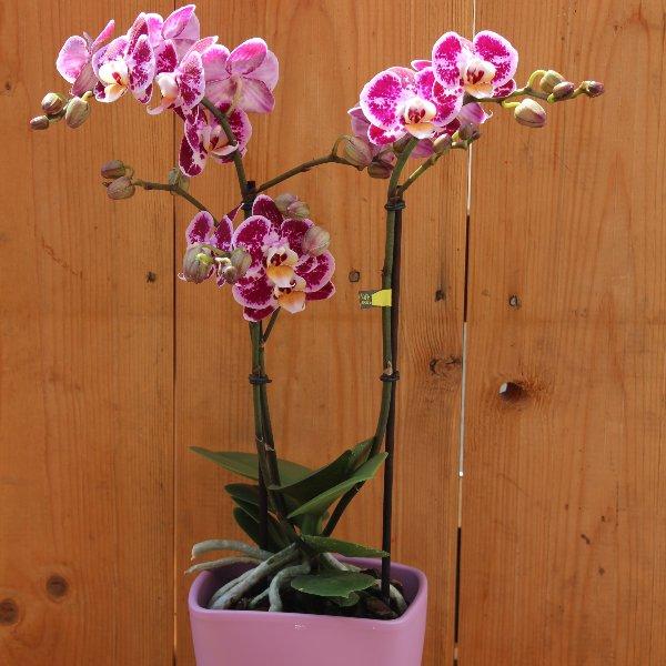 Orchidee rosa Bild 1