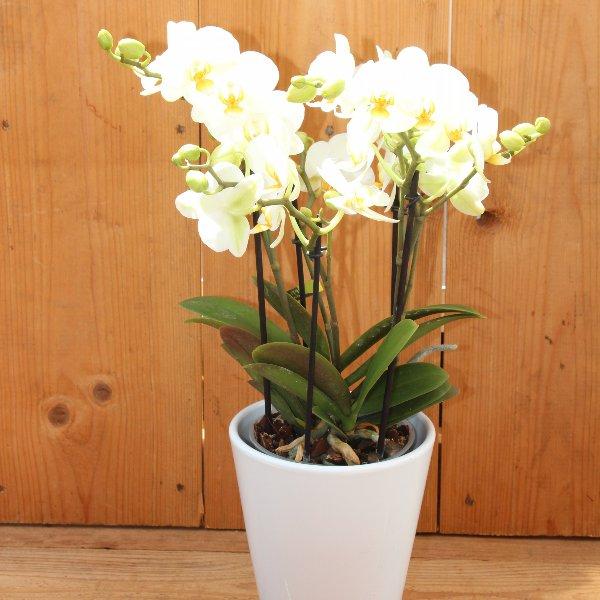 Orchidee weiß Bild 1