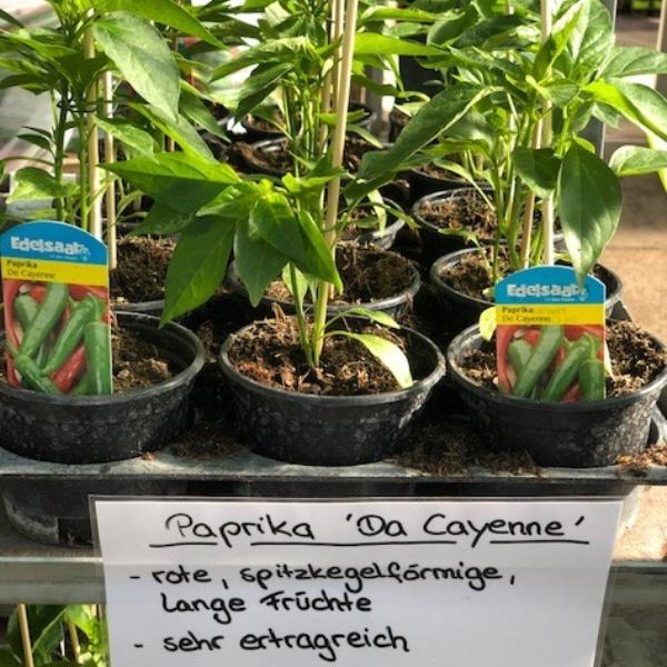 Paprika-Pepperoni-Pflanzen Bild 6