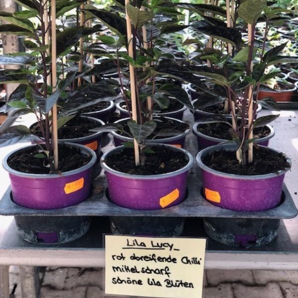 Paprika-Pepperoni-Pflanzen Bild 7
