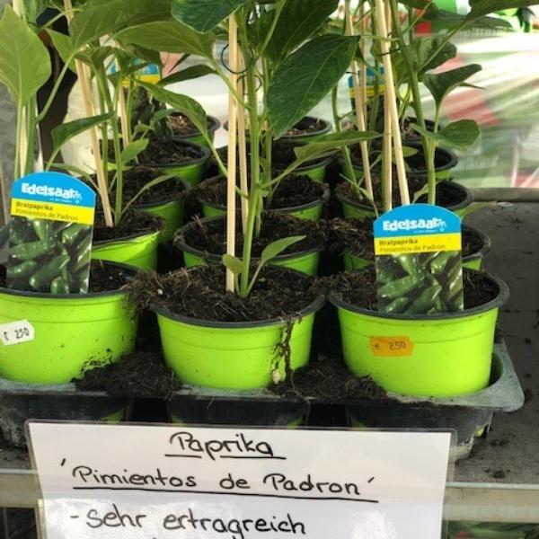 Paprika-Pepperoni-Pflanzen Bild 9