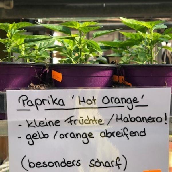 Paprika-Pepperoni-Pflanzen Bild 11