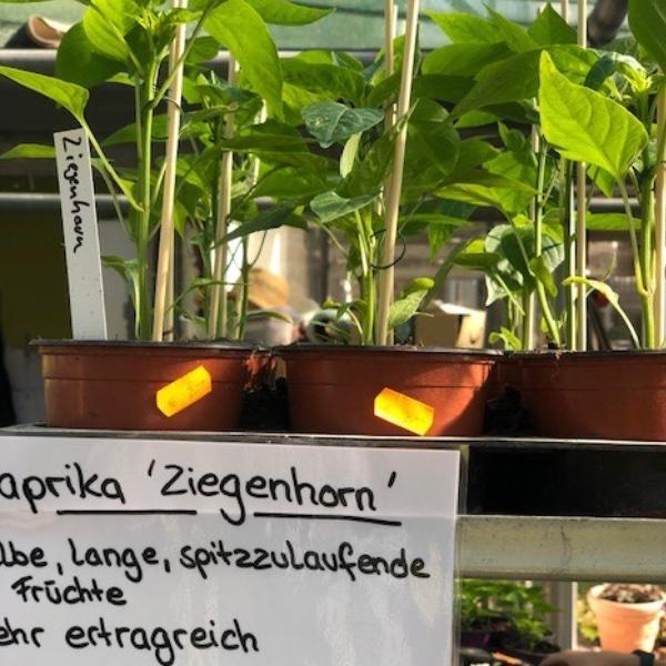 Paprika-Pepperoni-Pflanzen Bild 12