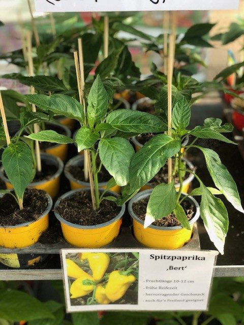 Paprika-Pepperoni-Pflanzen Bild 14