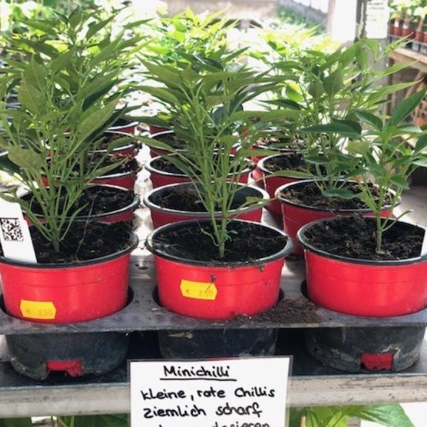 Paprika-Pepperoni-Pflanzen Bild 15