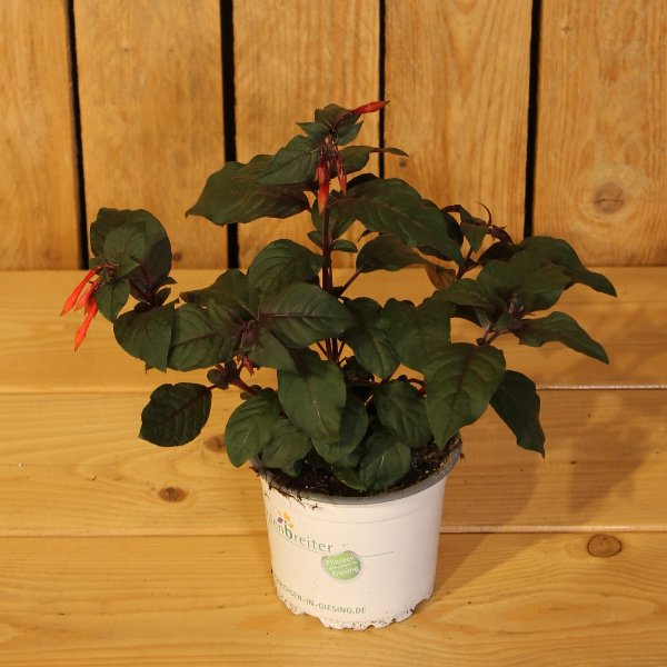 Fuchsia flugens Bild 1