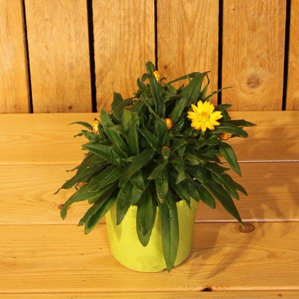 Strohblume Bild 1