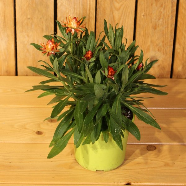 Strohblume Bild 2