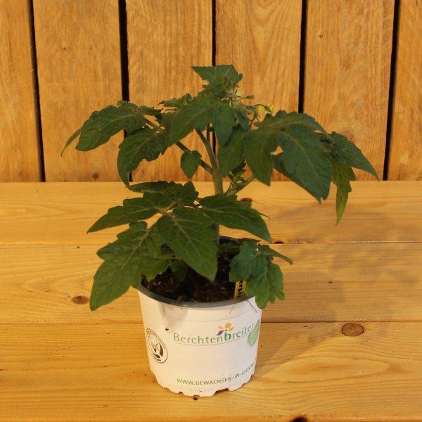 Tomaten Pflanze Bild 1