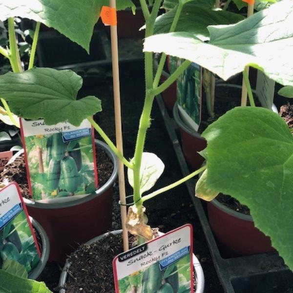 Gurken-Pflanzen Bild 4