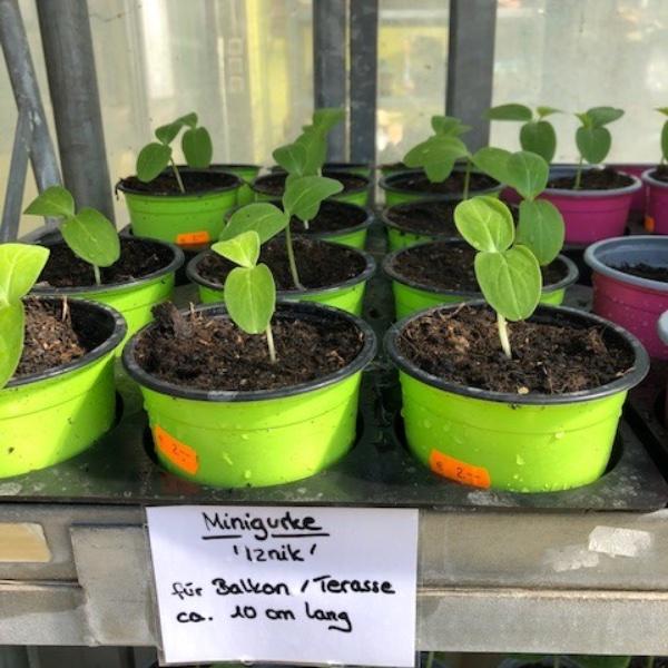 Gurken-Pflanzen Bild 5