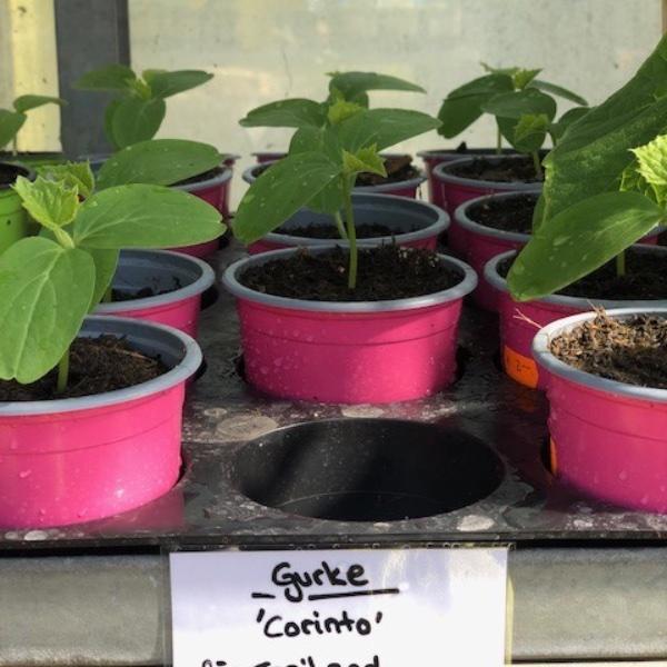 Gurken-Pflanzen Bild 6