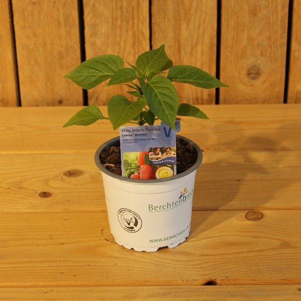 Paprika Pflanze Bild 1