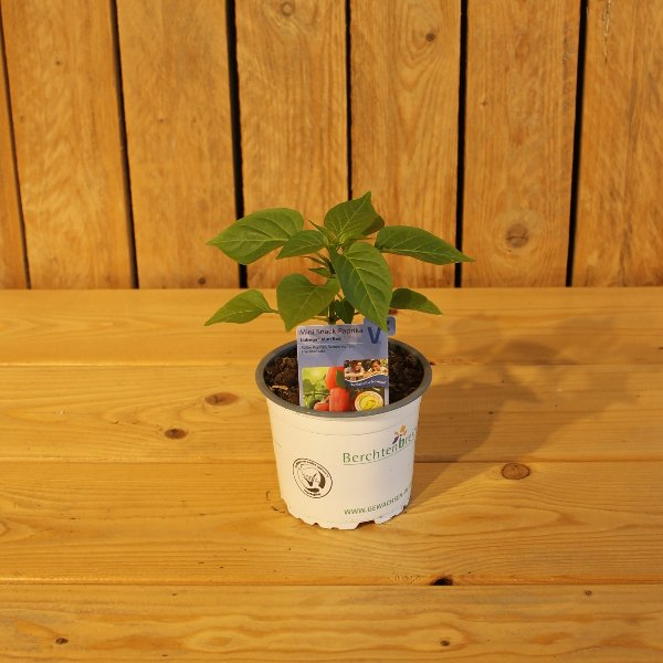 Peperoni Pflanze Bild 1