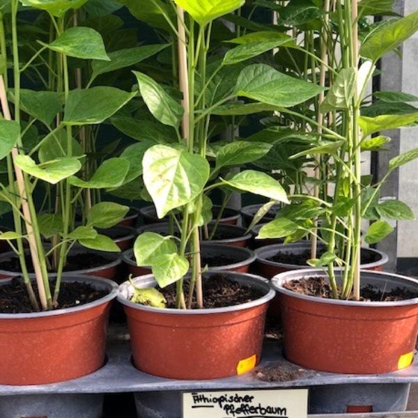 Paprika-Pepperoni-Pflanzen Bild 16