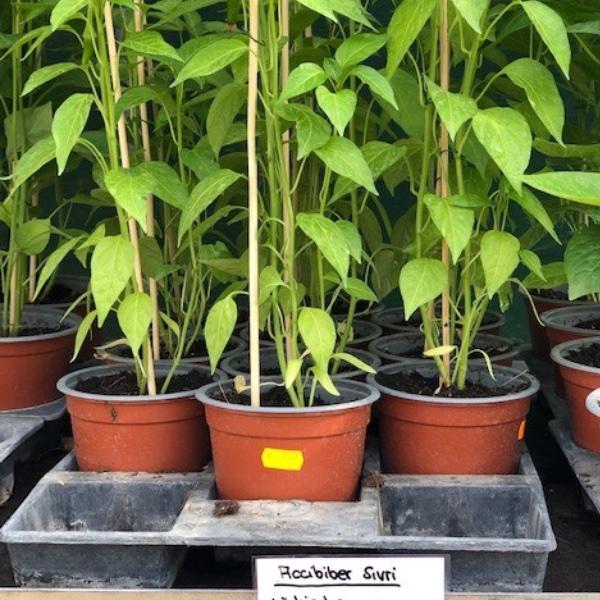 Paprika-Pepperoni-Pflanzen Bild 17