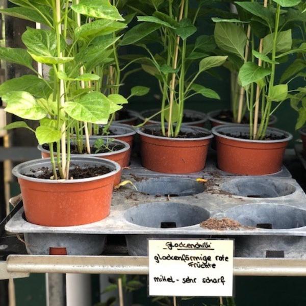 Paprika-Pepperoni-Pflanzen Bild 18