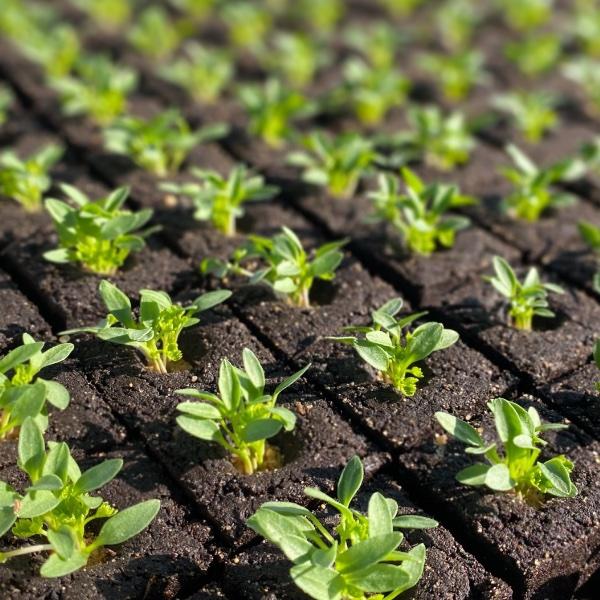 Salat-Setzling Mix Bild 1