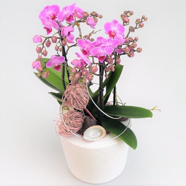 Orchidee Dezenta 1 Bild 1
