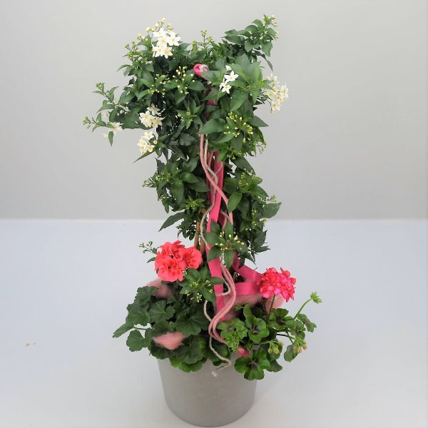 Solanumstamm Rosalie Bild 1