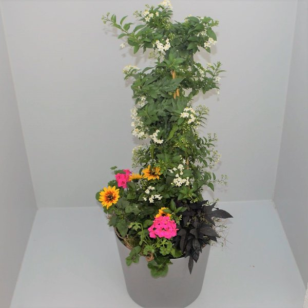 Solanumstamm  Bunti Bild 1