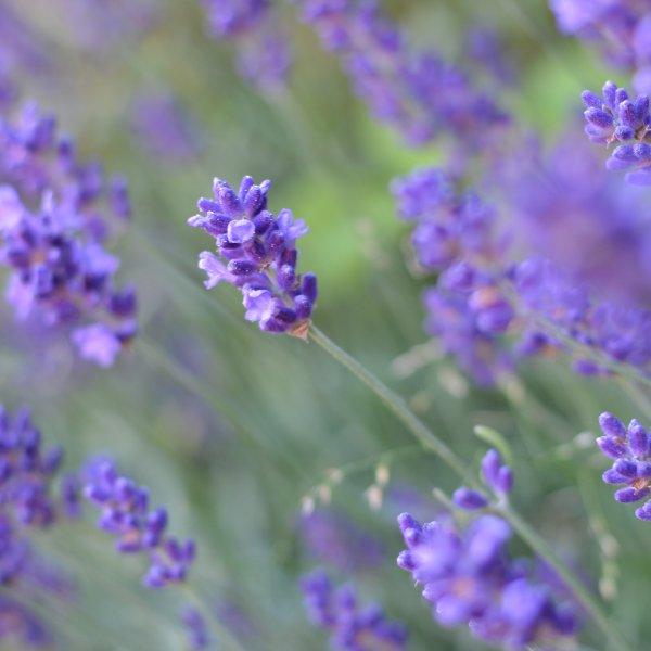 Lavendel ´Hidcote blue´ Bild 1