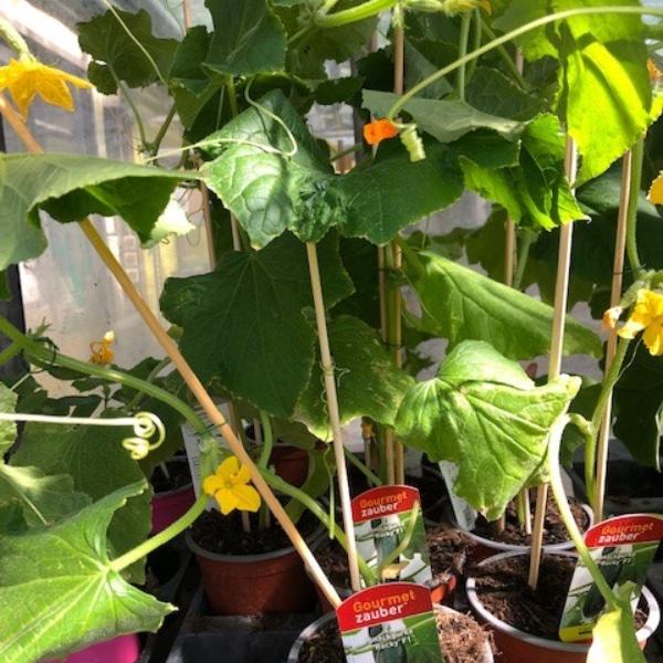 Gurken-Pflanzen Bild 7