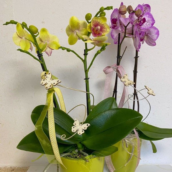 Dekorierte Orchidee mit Übertopf Bild 3
