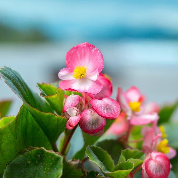 Beet-/ Eis-Begonie - Begonia semperflorens Bild 2