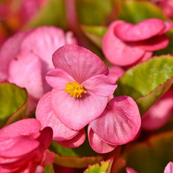 Beet-/ Eis-Begonie - Begonia semperflorens Bild 1