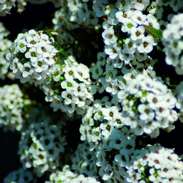 Schneeprinzessin - Lobularia maritima `Snow Princess´ Bild 2