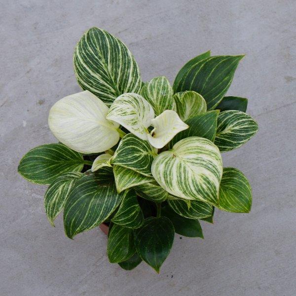 Philodendron birki Bild 2