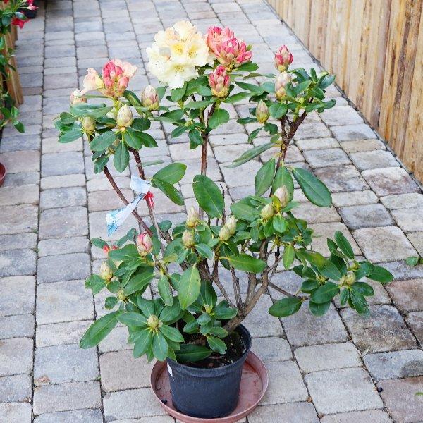 Rhododendron Bild 1