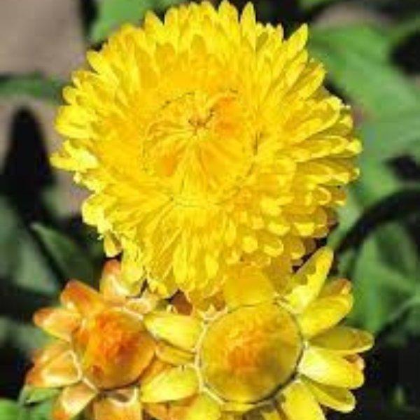 Strohblumen verschiedene Farben Bild 1