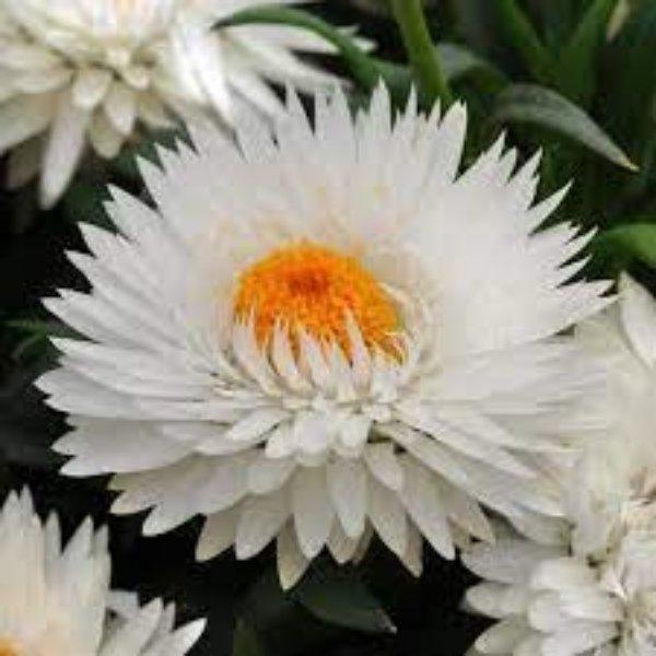Strohblumen verschiedene Farben Bild 2