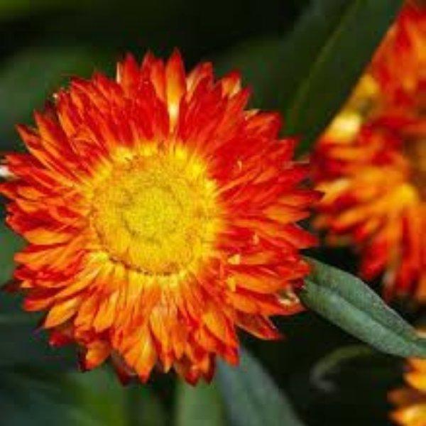 Strohblumen verschiedene Farben Bild 3