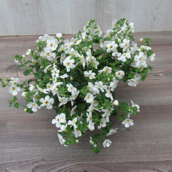 Schneeflöckchen (Baopa) Bild 1