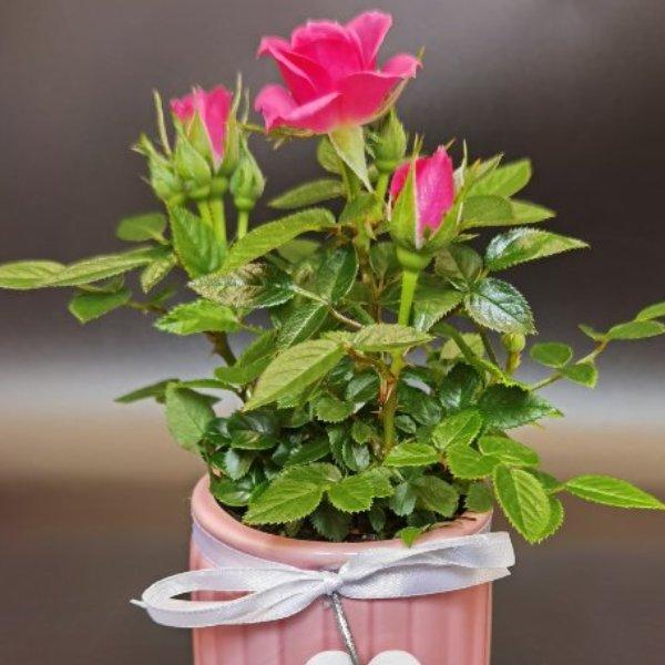Mini-Rose mit Dekotopf Bild 1