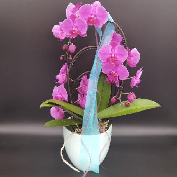 Phalaenopsis-Orchidee Bild 1
