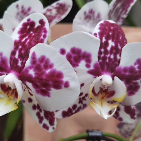 Phalaenopsis-Orchidee Bild 2