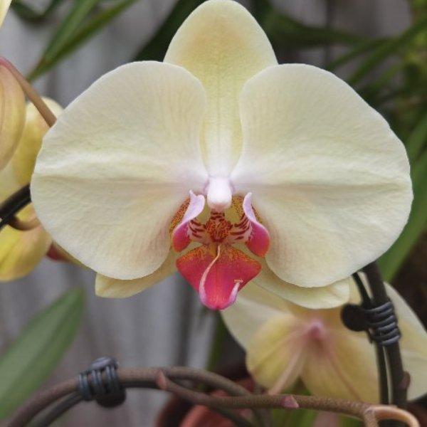 Phalaenopsis-Orchidee Bild 4