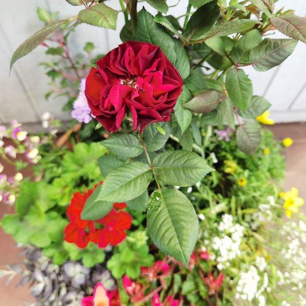Blumenschale mit Rosen-Hochstämmchen Bild 2