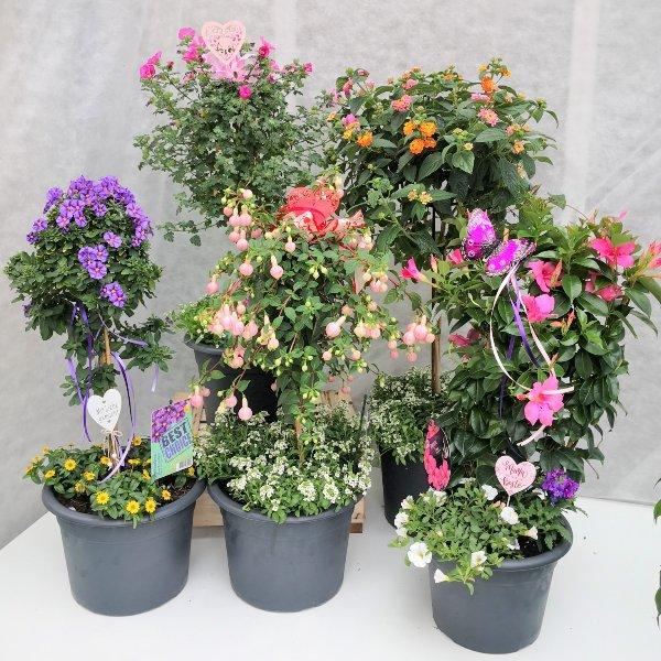 Blumenstämmchen mit Unterbepflanzung Bild 1