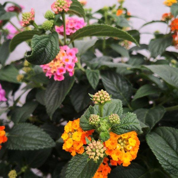 Blumenstämmchen mit Unterbepflanzung Bild 5