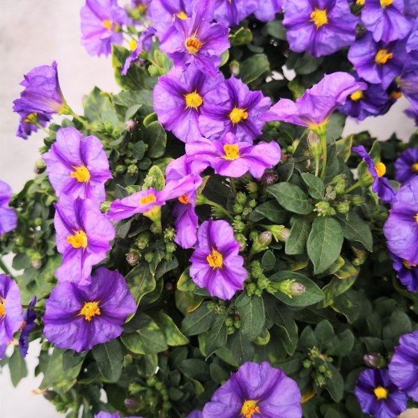 Blumenstämmchen mit Unterbepflanzung Bild 4