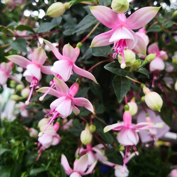 Blumenstämmchen mit Unterbepflanzung Bild 3